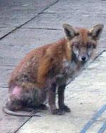 mangy-fox-734744
