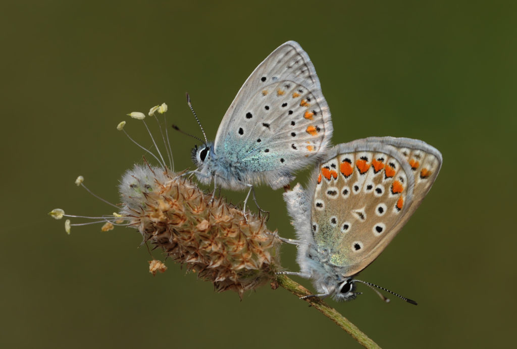 Wing underside view of a mating couple of Common Blue (Polyommatus icarus) butterfly. Adana, Turkey.